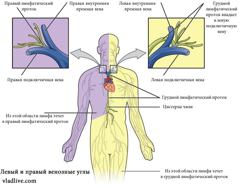 Движение лимфы. Венозные углы